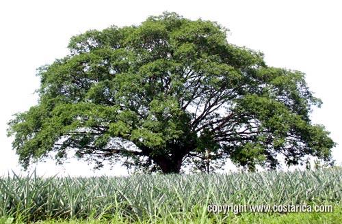 Rbol m s grande y crecimiento m s veloz de la tierra for Arboles perennes de crecimiento rapido